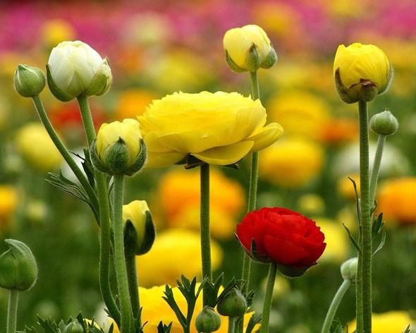 выращивание лютиков
