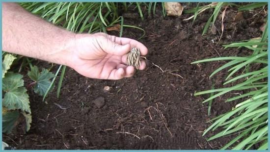как посадить лютик