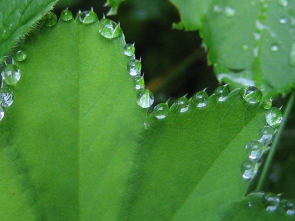 выращивание манжетки