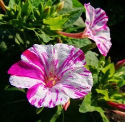 выращивание мирабилиса