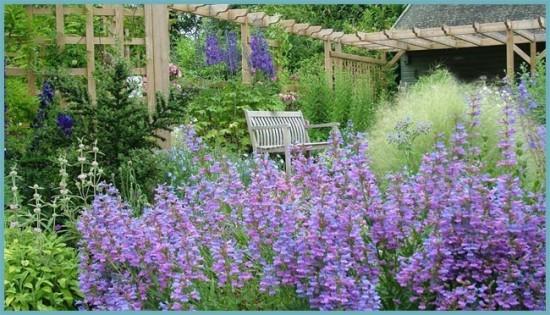 пенстемон в саду
