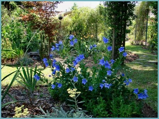платикодон в саду