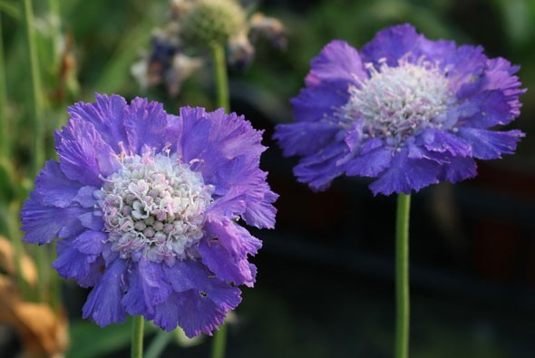 выращивание скабиозы