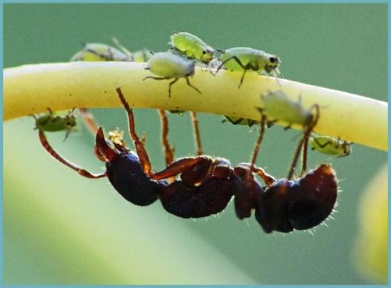 защита от муравьев в теплице
