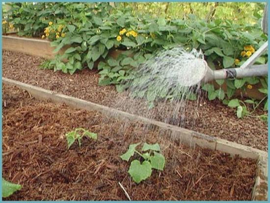как поливать огурцы в теплице