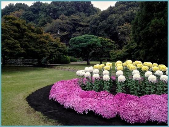 как посадить хризантемы