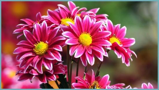 цвета хризантем