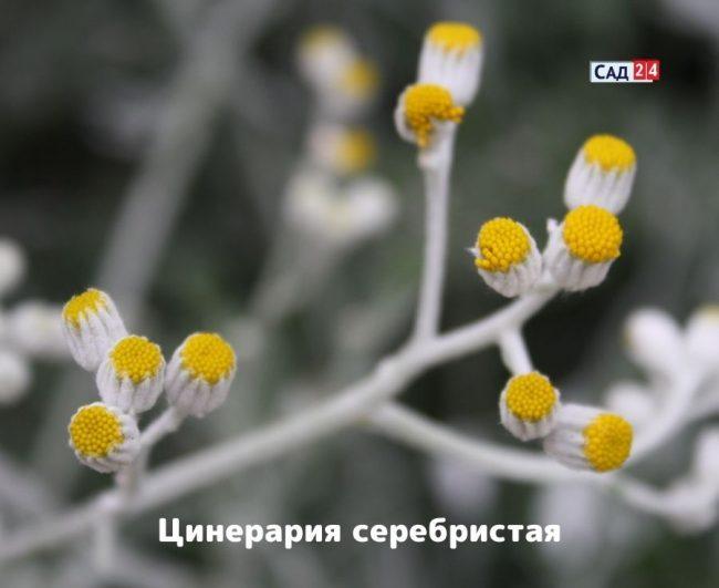Цинерария серебристая выращивание