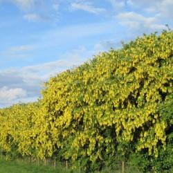 выращивание бобовника