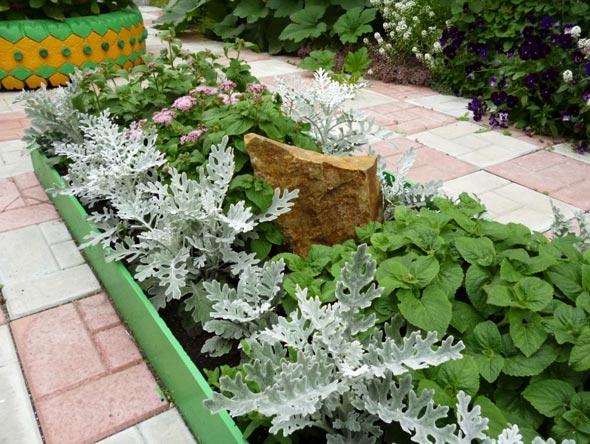 выращивание цинерарии