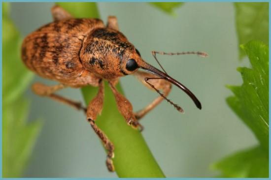 насекомые вредители гортензии