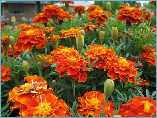 цветки бархатцев для сбора семян
