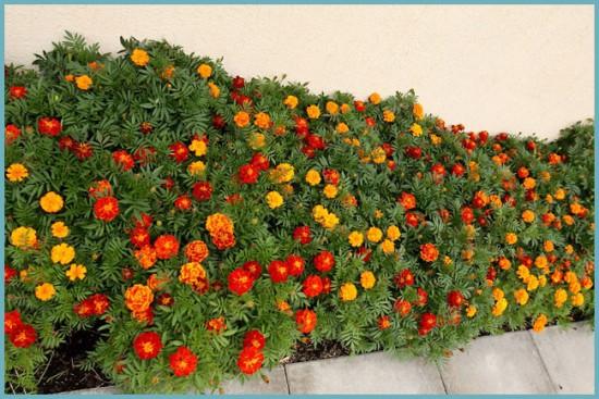 агротехника выращивания бархатцев