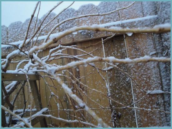 подготовка кампсиса к зиме
