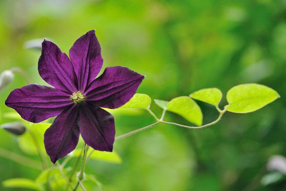 выращивание клематисов
