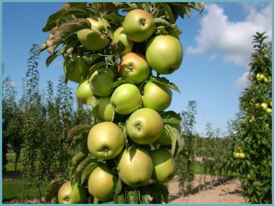 размножение колоновидных яблонь