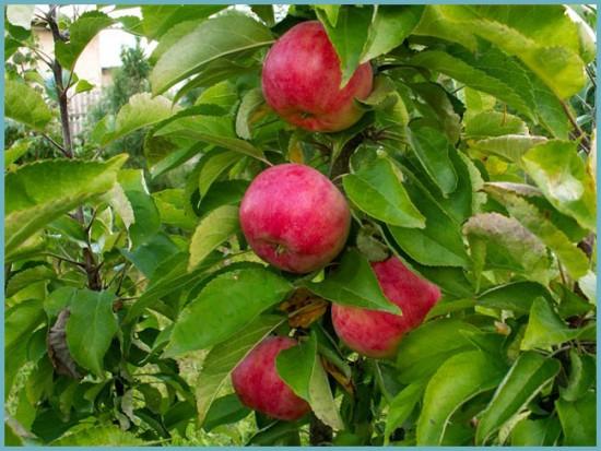 сорта колоновидных яблонь