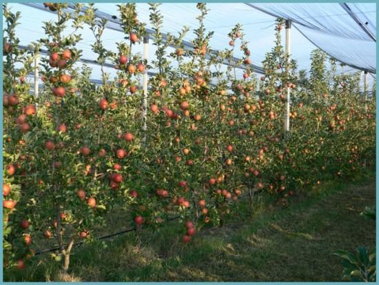 почва для выращивания колоновидных яблонь