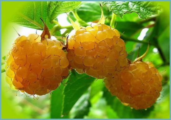 лучшие сорта малины