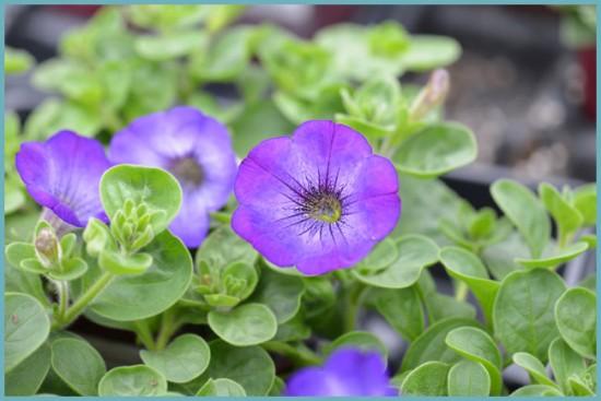 агротехника выращивания петунии