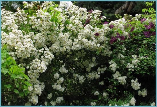 роза плетистая в ландшафтном дизайне