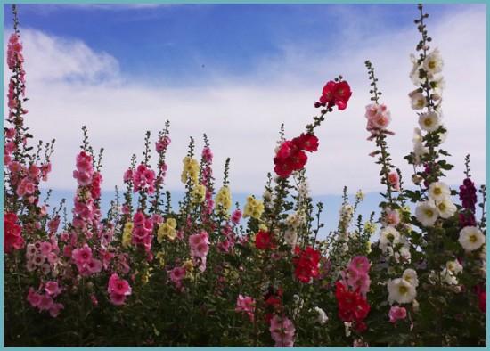 особенности шток-розы