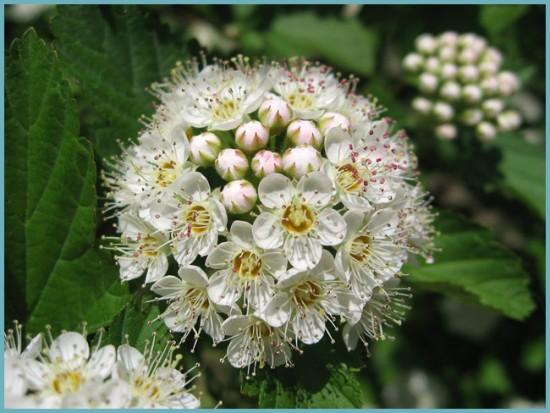 цветение спиреи