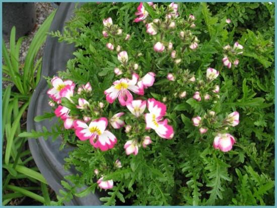 выращивание схизантуса семенами