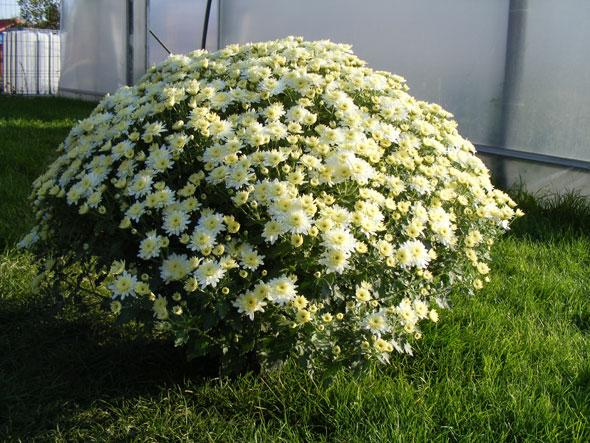 выращивание шаровидной хризантемы