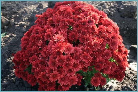 кусты шаровидной хризантемы