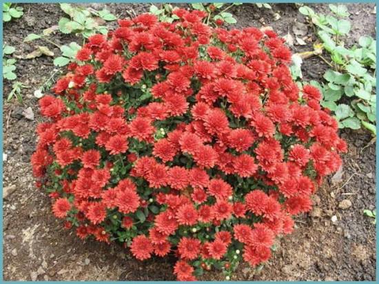 полив хризантемы шаровидной