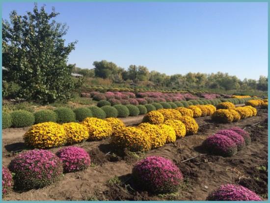 пересадка шаровидных хризантем