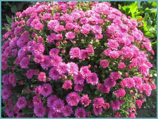 подкормка шаровидной хризантемы