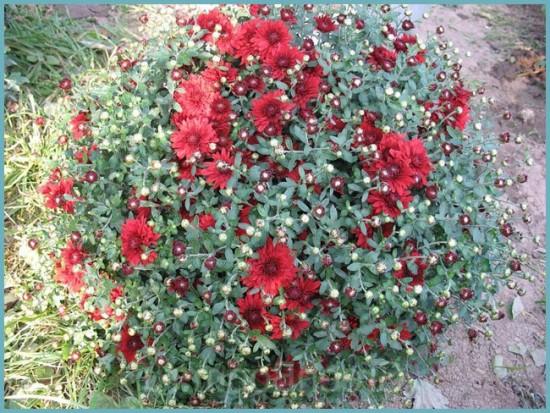 когда пересаживать хризантему