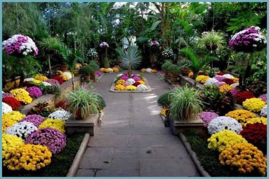 посадка шаровидной хризантемы