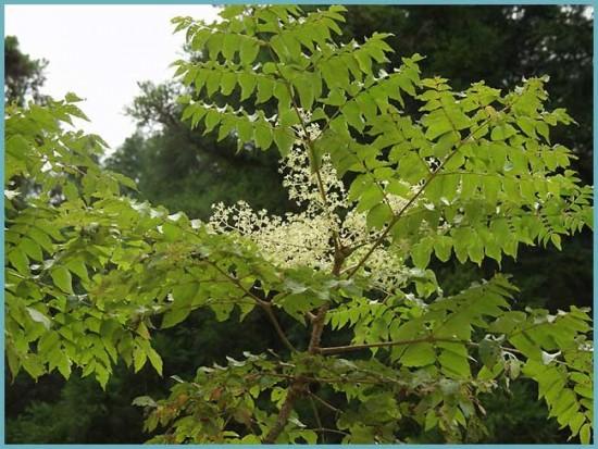 цветение аралии