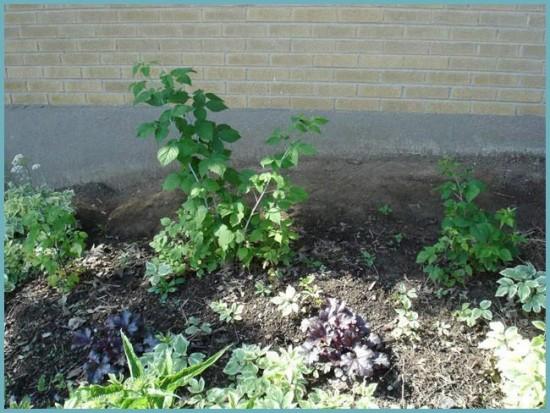 как посадить черную малину