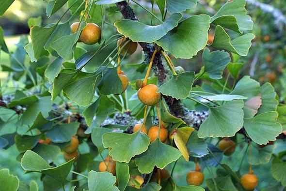 выращивание гинкго билобы