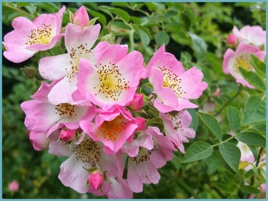 виды вьющейся розы