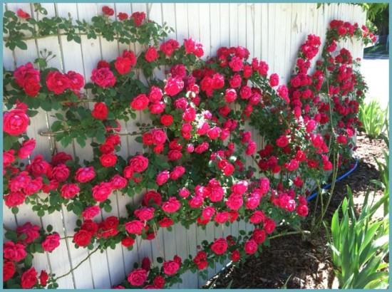виды вьющихся роз