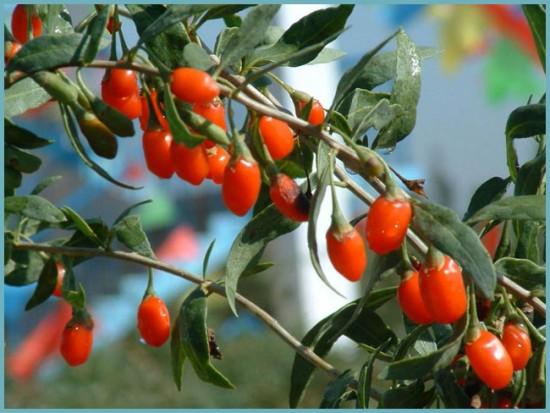 чем отличаестся барбарис от ягод годжи