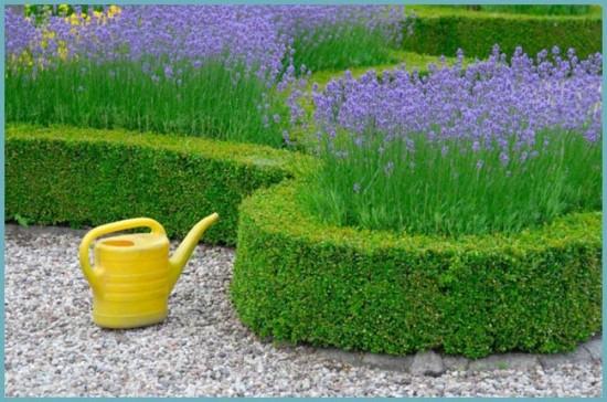 бирючина в саду