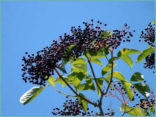 польза плодов бузины