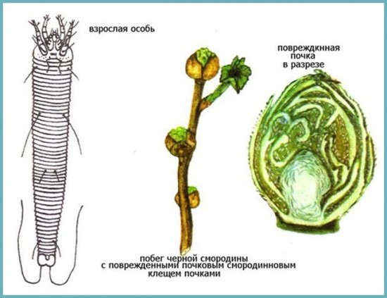 вредители смородины