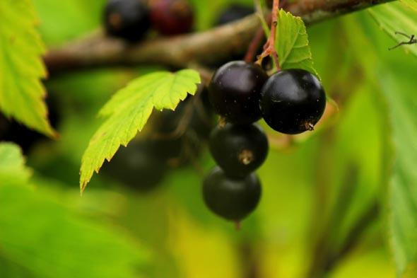 выращивание черной смородины