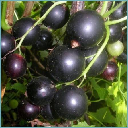 сорта смородины черной