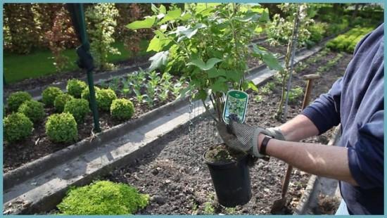 как посадить смородины черную