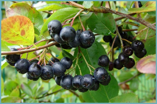 чем полезна рябина черноплодная