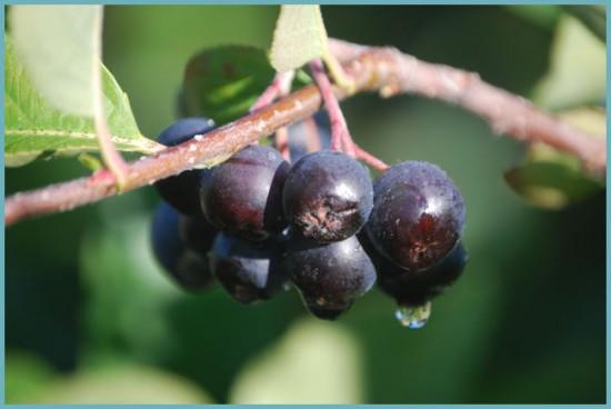 как употреблять рябину черноплодную
