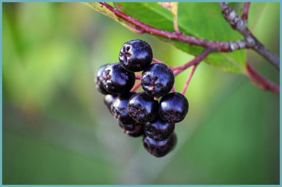 вред черноплодной рябины